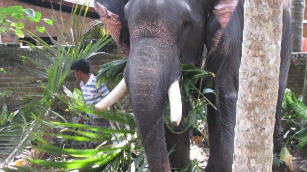 elephant chomping