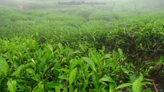 Lush green tea leaves, waiting to be picked, but no one picking them...