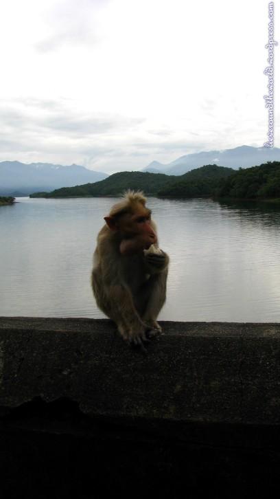 thenmala monkey