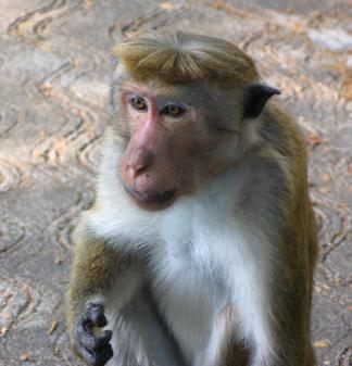 monkey haircut