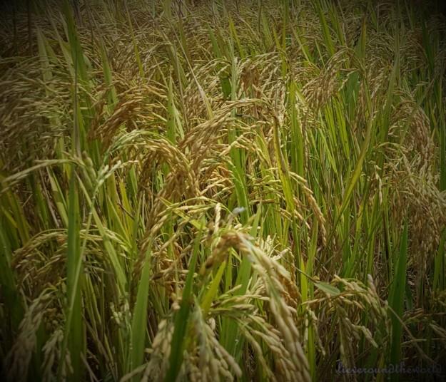 rice close up
